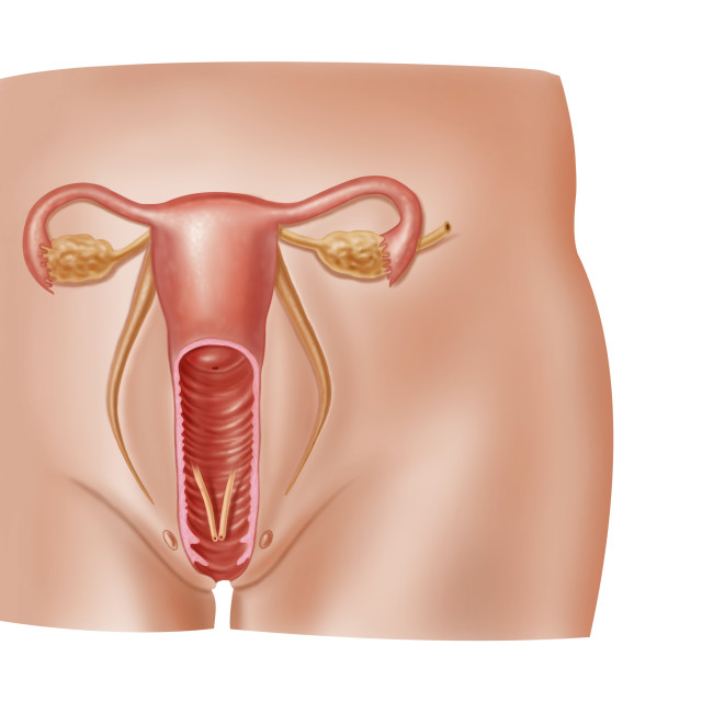 """""""Female reproductive system, artwork"""" stock image"""