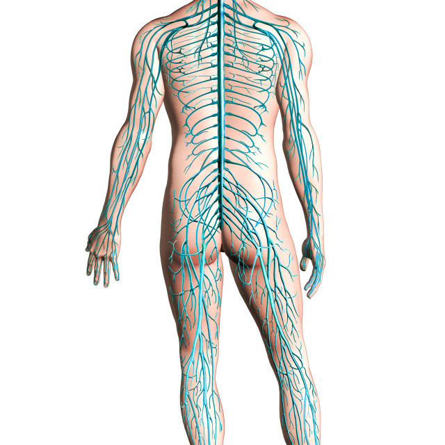 """Human nervous system diagram."" stock image"