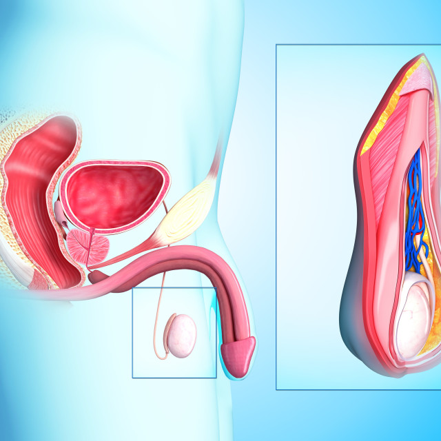 """""""Male reproductive system, artwork"""" stock image"""