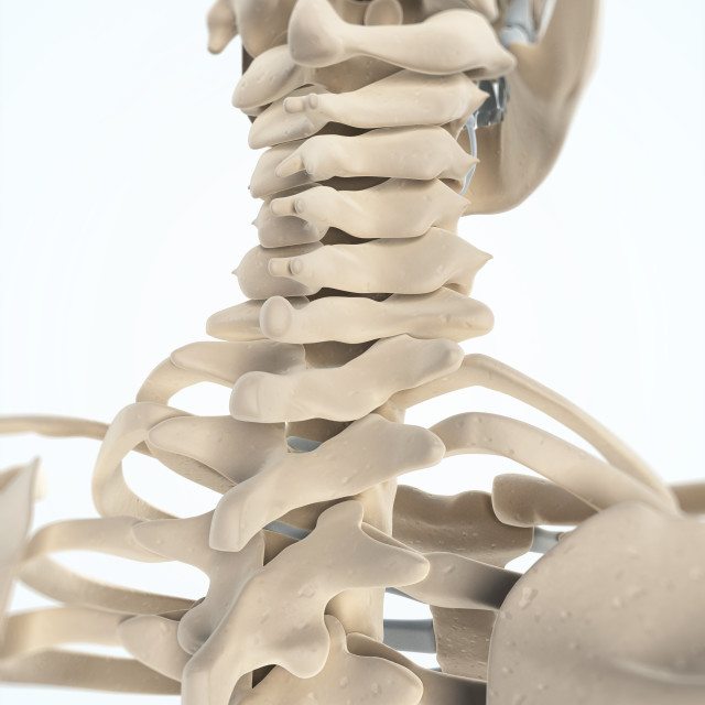 """Neck bones, artwork"" stock image"