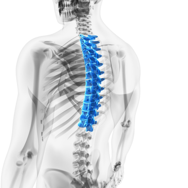 """Thoracic spine, artwork"" stock image"