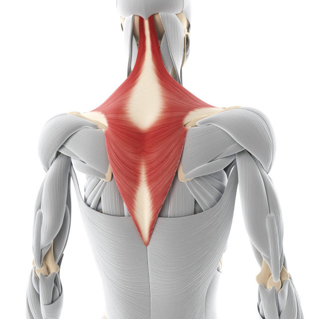 """Back muscle, artwork"" stock image"