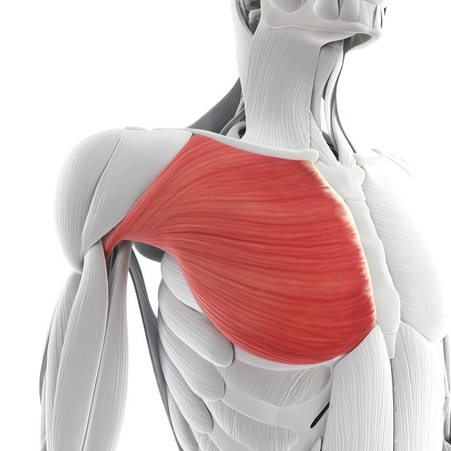 """""""Chest muscle, artwork"""" stock image"""