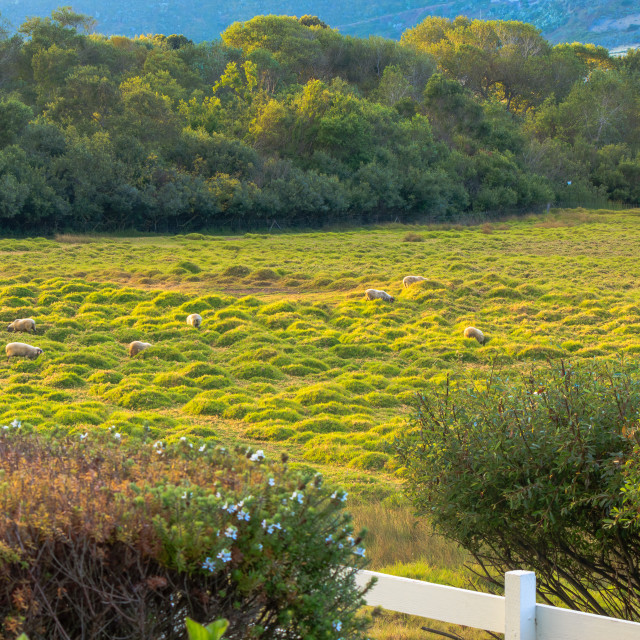 """Sheep at Mission Ranch in Carmel by the Sea, California"" stock image"