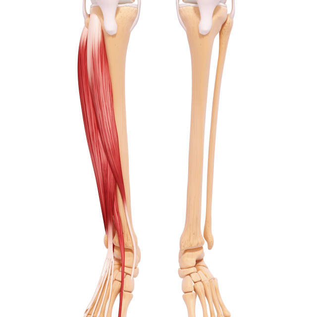 """Human leg musculature, artwork"" stock image"