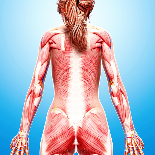 """Female musculature, artwork"" stock image"