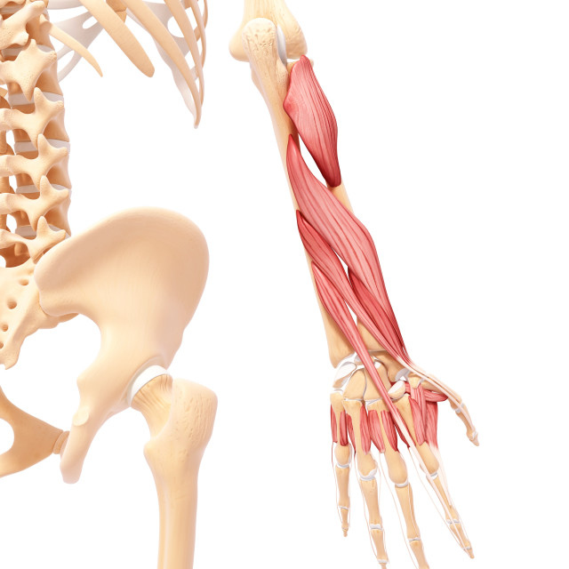 """Human arm musculature, artwork"" stock image"