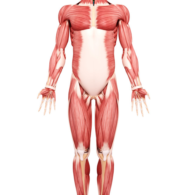 """Human musculature, artwork"" stock image"