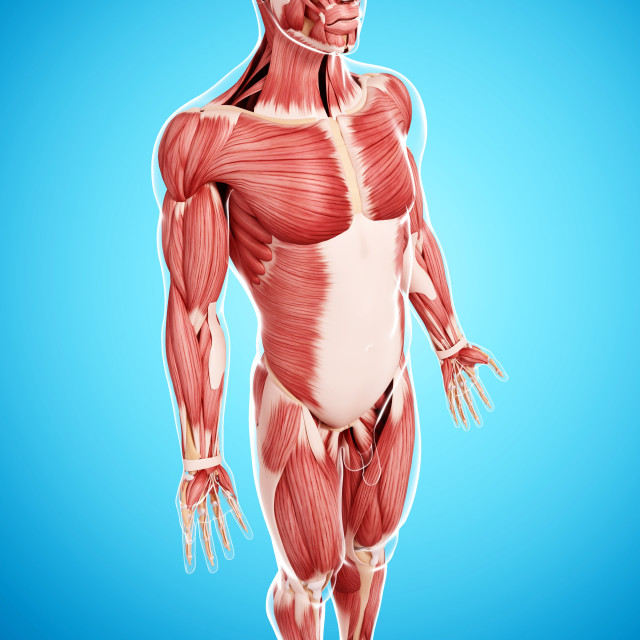 """Male musculature, artwork"" stock image"