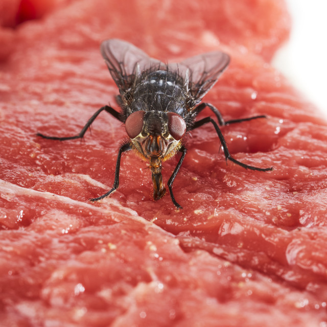 """Bluebottle fly on meat"" stock image"