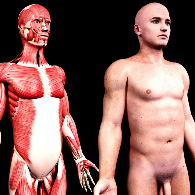 """Male anatomy, artwork"" stock image"