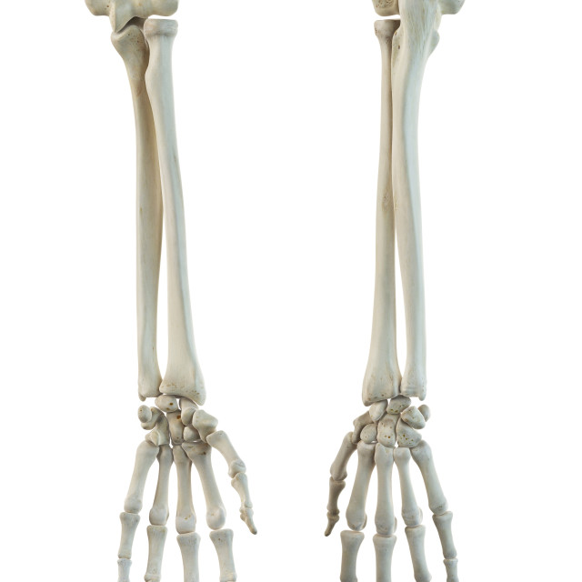 """Human arm bones, artwork"" stock image"