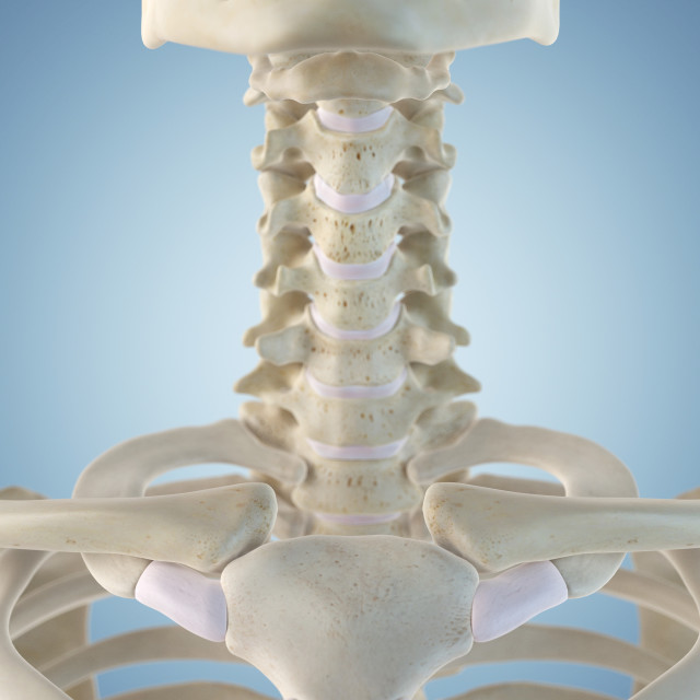 """Human neck bones, artwork"" stock image"