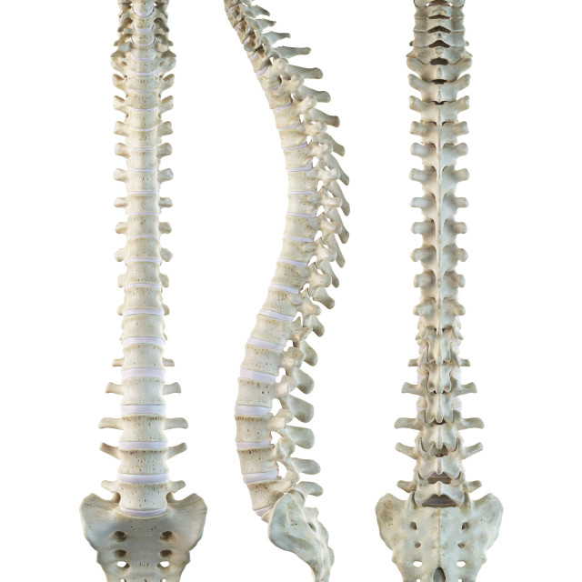 """Human spine, artwork"" stock image"