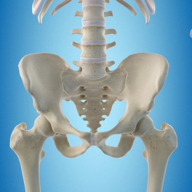 """Human hip bones, artwork"" stock image"