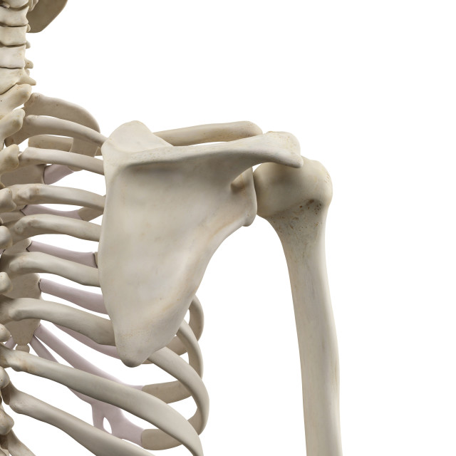 """Human shoulder bones, artwork"" stock image"