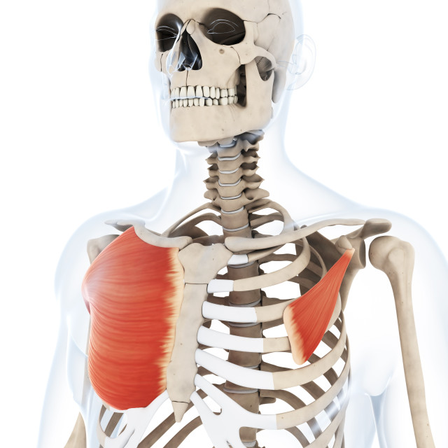 """""""Human chest muscles, artwork"""" stock image"""