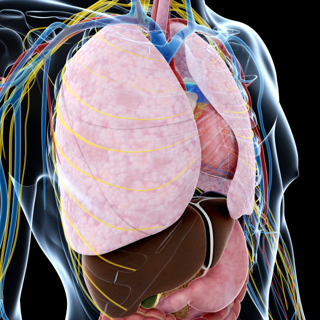 """""""Human anatomy of the lungs, artwork"""" stock image"""