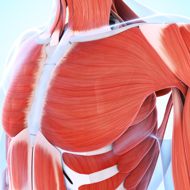 """""""Human muscular system of the chest"""" stock image"""