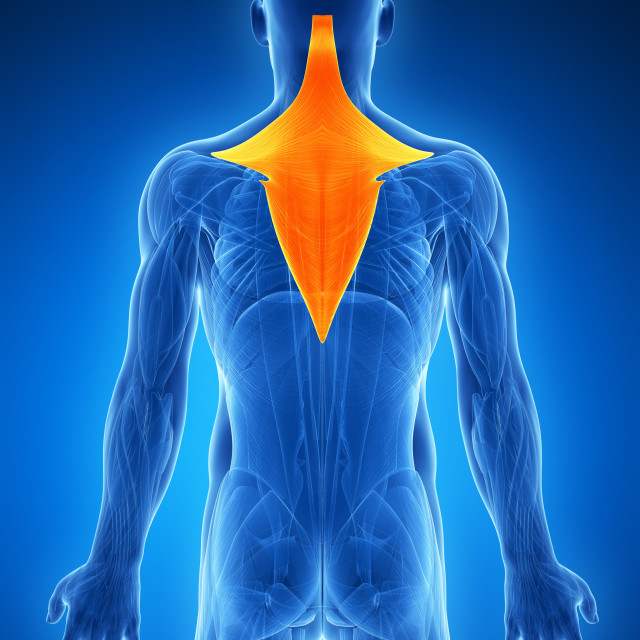 """""""Human neck and back muscles, artwork"""" stock image"""