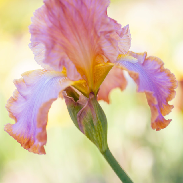 """Afternoon Delight Iris"" stock image"