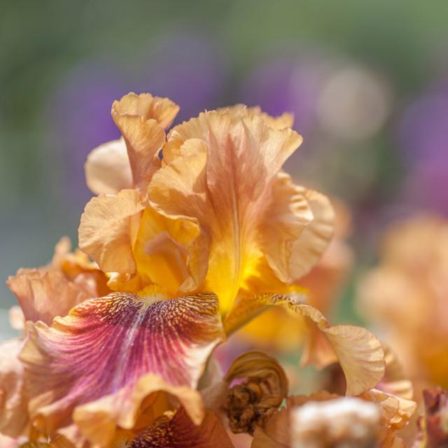 """Autumn Leaves Iris Flower"" stock image"