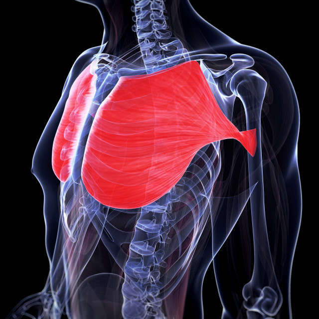 """""""Human chest muscles, illustration"""" stock image"""
