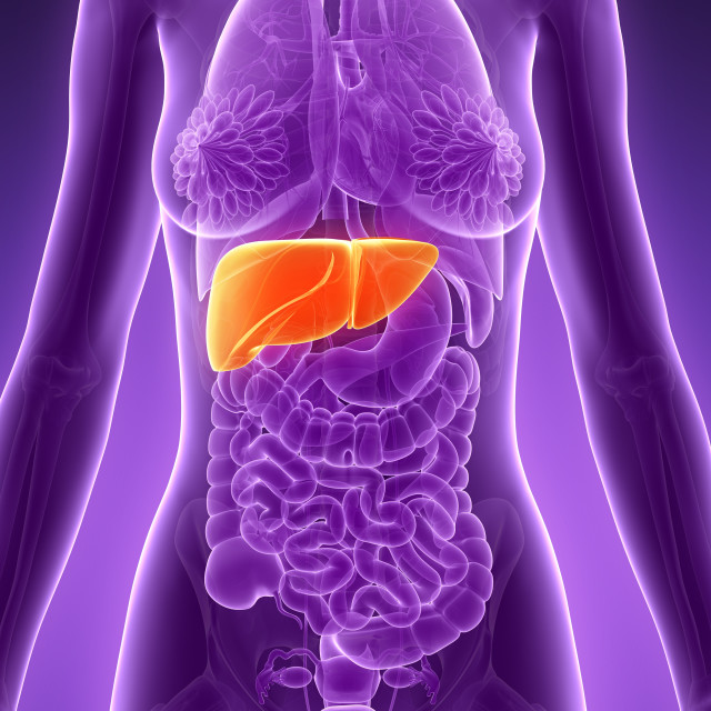 """Anatomy of female liver, illustration"" stock image"