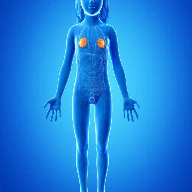 """""""Mammary glands of girl, illustration"""" stock image"""