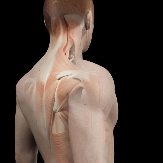 """Human back muscles, illustration"" stock image"