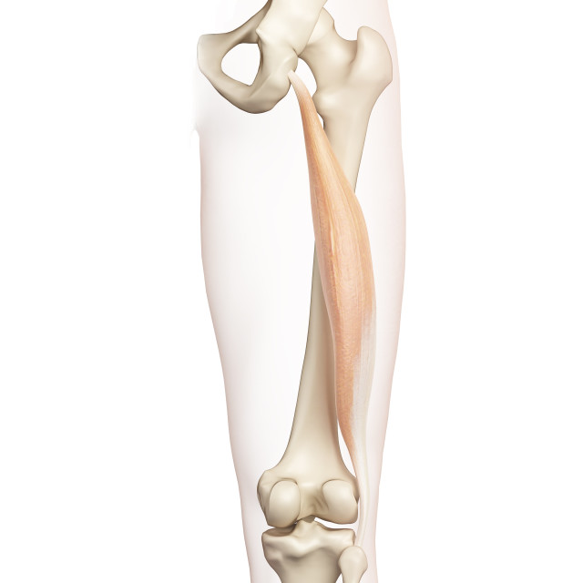 """Human thigh muscle, illustration"" stock image"