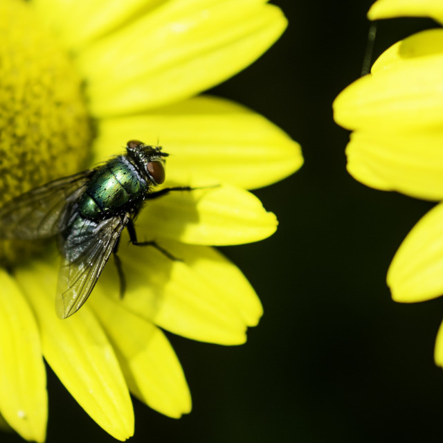 """""""Green bottle fly on bright yellow flower"""" stock image"""