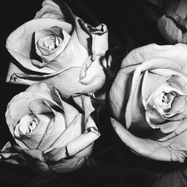 """Monochrome Roses"" stock image"
