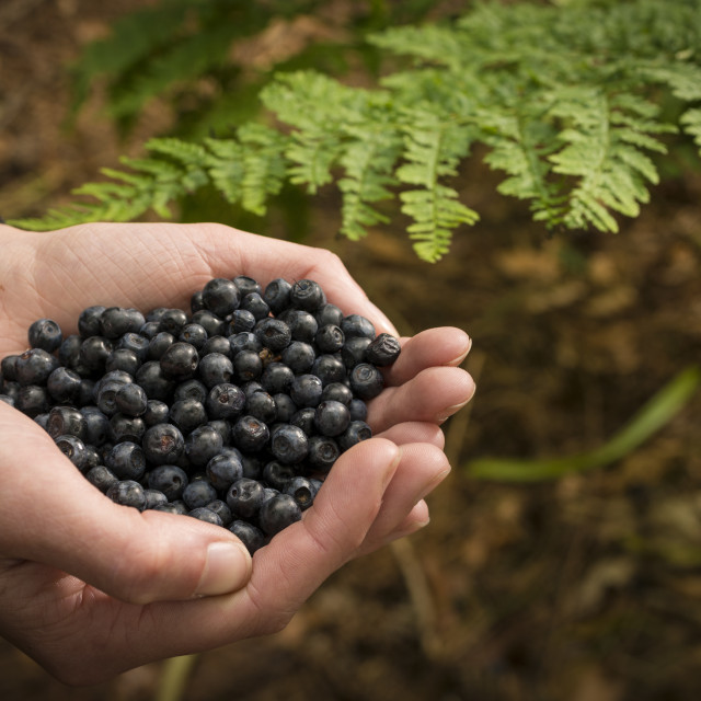 """Person holding bilberries"" stock image"