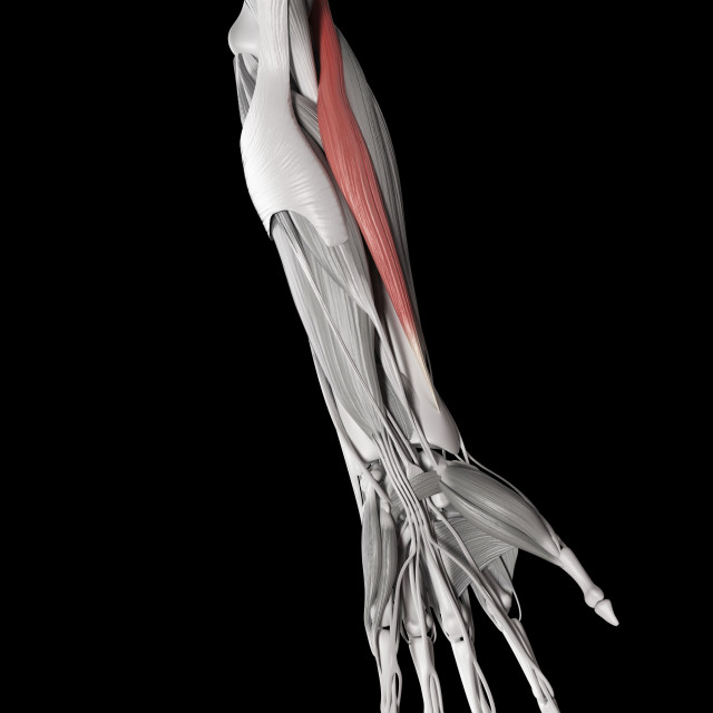 """Human muscle of arm, illustration"" stock image"
