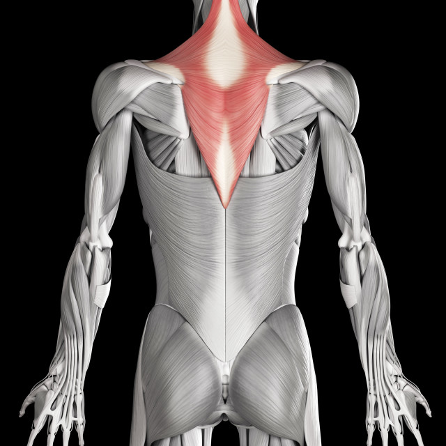 """""""Human back and neck muscles, illustration"""" stock image"""