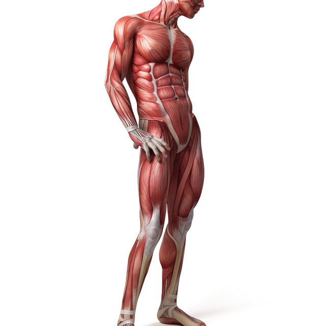 """""""Male muscular system, illustration"""" stock image"""