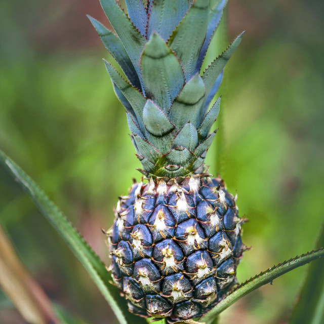 """""""Pineapple growing on plant"""" stock image"""