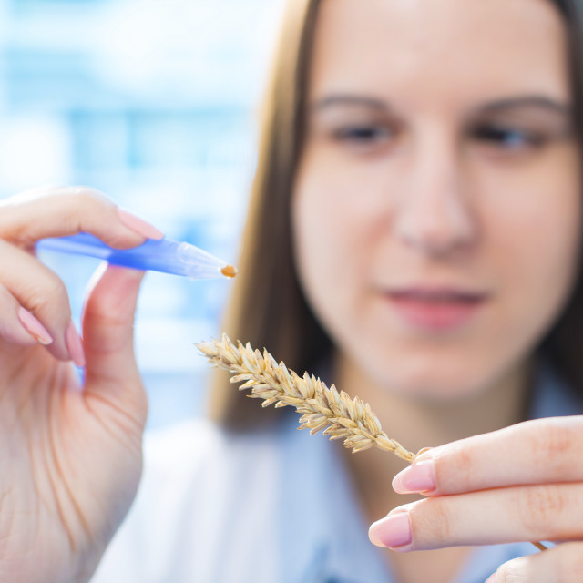 """Female nutritionist testing wheat in lab"" stock image"