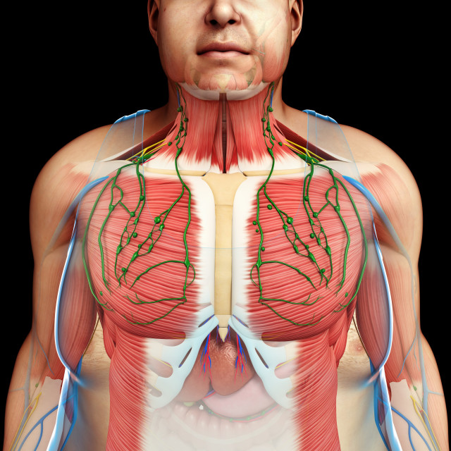 """""""Human anatomy of the chest, illustration"""" stock image"""