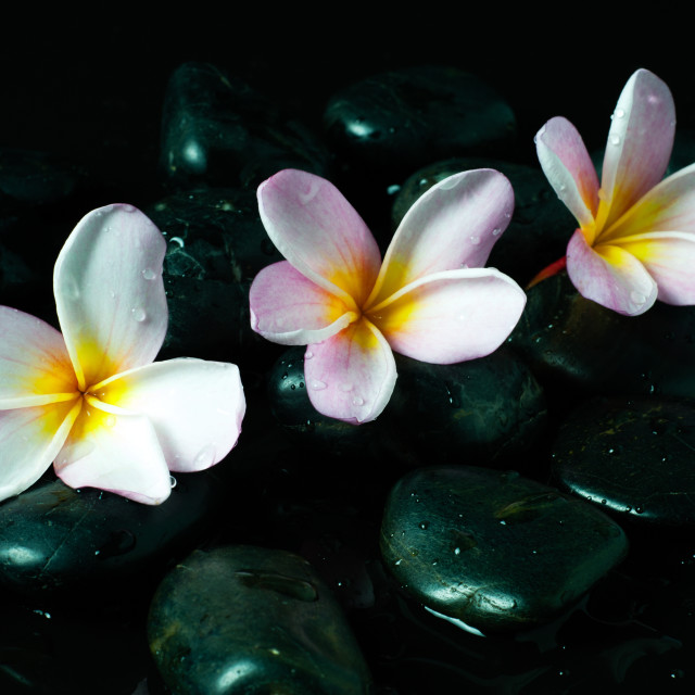 """Zen stones with water drops and pink Frangipani flowers on black background."" stock image"