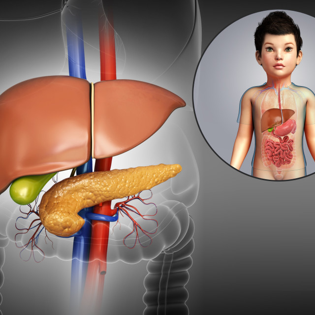 """Internal organs of a child, illustration"" stock image"