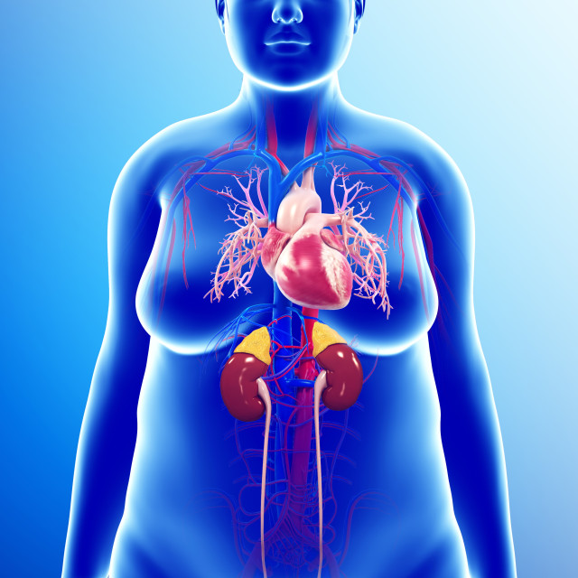 """Human internal organs, illustration"" stock image"