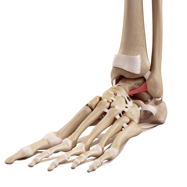 """""""Human foot ligaments"""" stock image"""