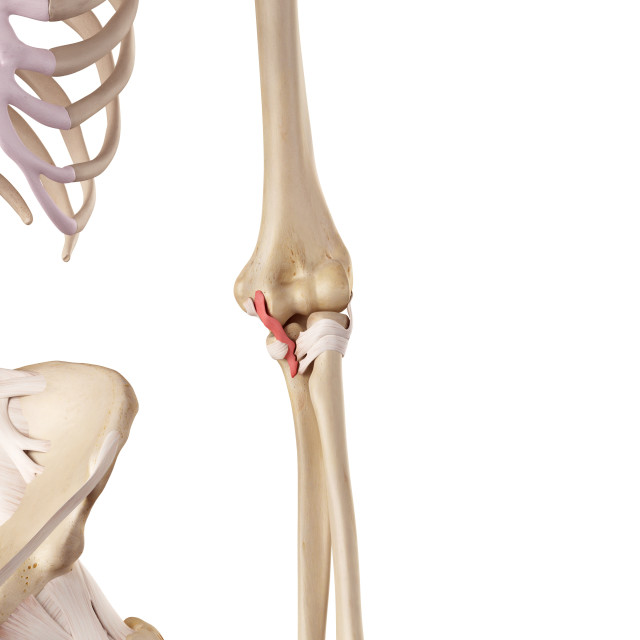 """""""Human elbow ligament"""" stock image"""