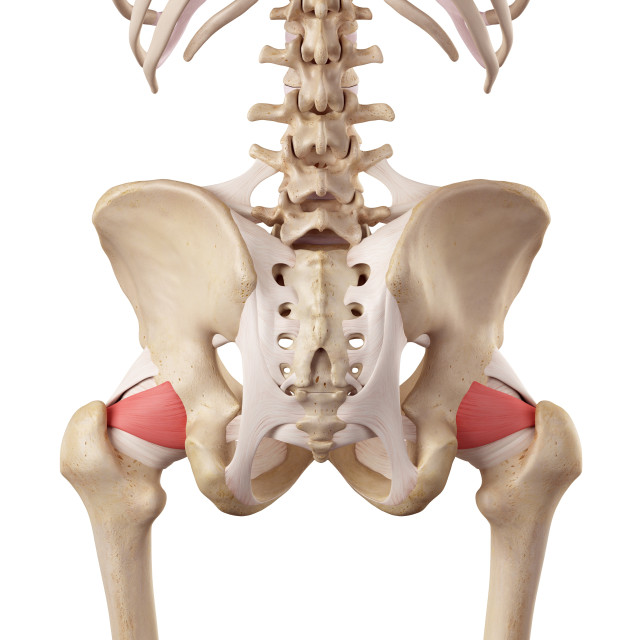 """""""Human hip ligaments"""" stock image"""