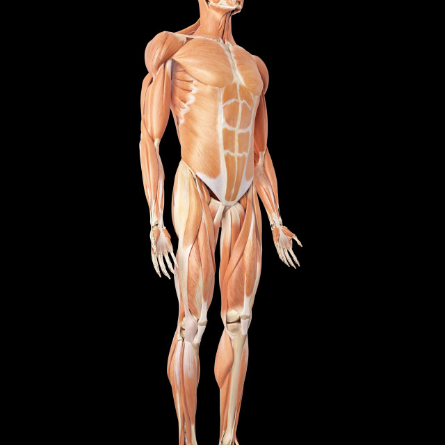 """""""Human muscular system"""" stock image"""