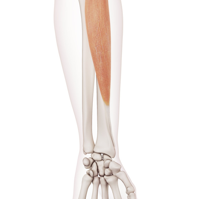 """Human arm muscle"" stock image"