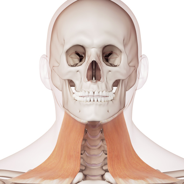 """""""Human neck muscles"""" stock image"""
