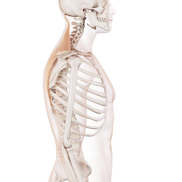 """""""Human back muscles"""" stock image"""